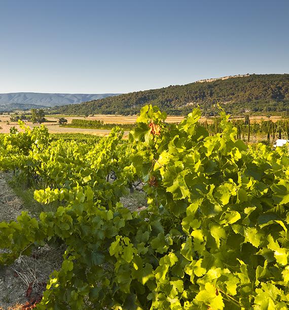 Photo des vignes du domaine viticole du Domaine de la Chapelle Saint-Heyries dans le Vaucluse (84)